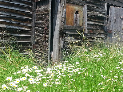 Barn and daisies