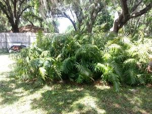 One of several mega fern beds