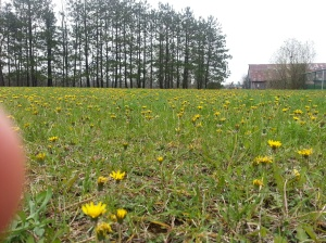 dandelions, a sure sign of spring