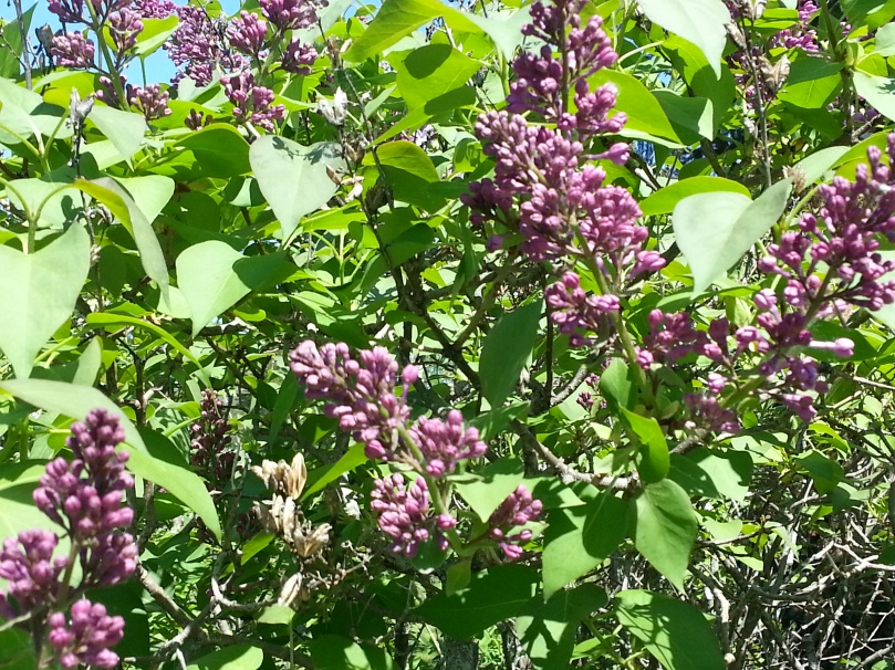NOTHING compares to a fully loaded lilac bush