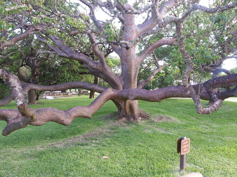 and the gumbo limbo tree