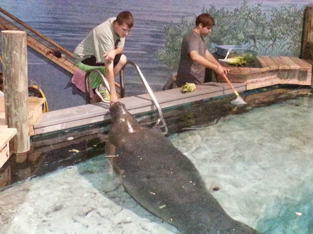 It's one thing to see a manatee...