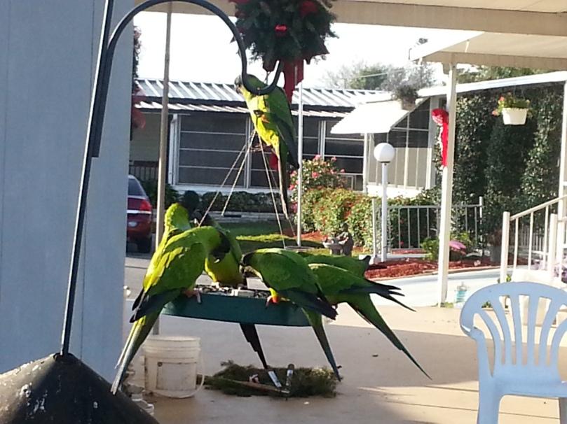 Black hooded parakeets having breakfast.