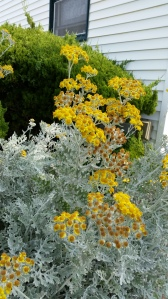 I had to put this pic in - although I know this plant (Dusty Miller) I have never seen it flower before.  Who knew? Must be the salt air...