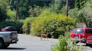 Lot on Vashon where you can park your car... or your deer.