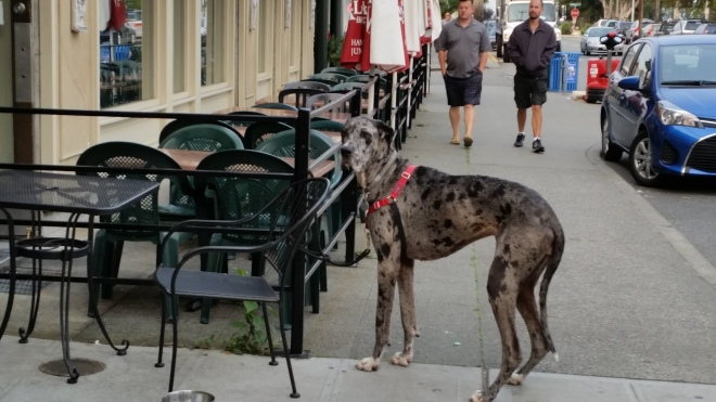 Seattle dogs go for coffee